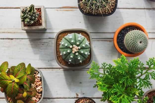 Conceito da natureza do houseplant do cacto da planta