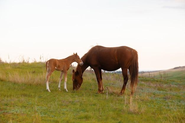 Conceito de animais, foto de um potro de bebê e mãe comendo grama