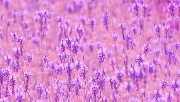 Conceito de campo de flor de lavanda foco suave roxo, relaxamento e aromaterapia