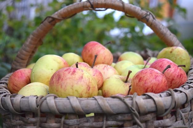Conceito de colheita de outono maçãs verdes frescas na cesta com jardim