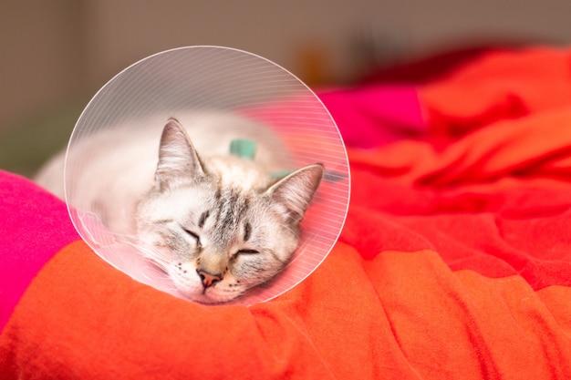 Conceito de cuidados de animais de estimação gato sonolento usando colar elizabetano, colarinho e-colar ou colar buster com espaço de cópia