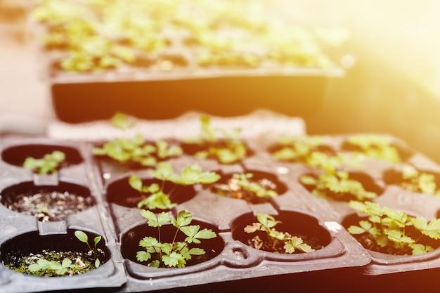 Conceito de ecologia. mudas estão crescendo a partir do solo rico. pequena profundidade de campo. plantas jovens na bandeja plástica do berçário na fazenda vegetal.