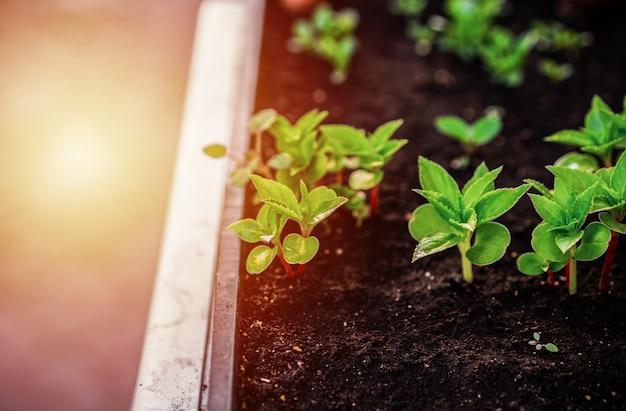 Conceito de ecologia. mudas estão crescendo a partir do solo rico. plantas jovens na bandeja plástica do berçário na fazenda vegetal.