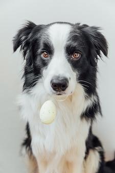 Conceito de feliz páscoa. preparação para férias. cachorrinho fofo border collie segurando um ovo de páscoa na boca, isolado no fundo branco