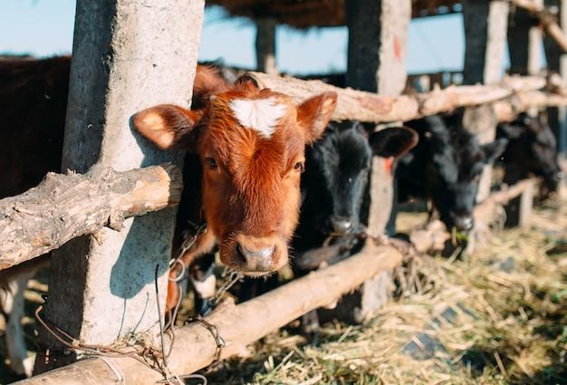 Conceito de indústria agrícola, agricultura e pecuária. rebanho de vacas em estábulo na fazenda de gado leiteiro