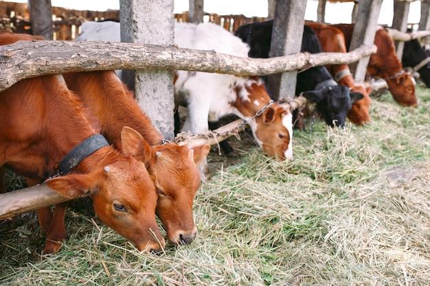 Conceito de indústria agrícola, agricultura e pecuária. rebanho de vacas no estábulo na fazenda de gado leiteiro