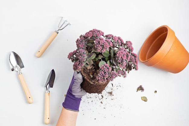 Conceito de jardinagem doméstica com plantio de planta suculenta