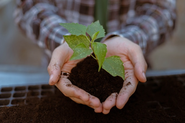 Conceito de jardinagem duas mãos grandes segurando uma planta viva com terra preta mostrando na frente de uma câmera.