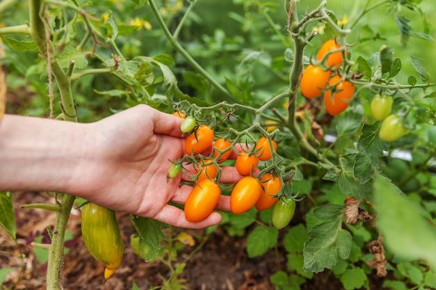 Conceito de jardinagem e agricultura. mão de trabalhador de fazenda mulher escolhendo tomates orgânicos maduros frescos. produtos com efeito de estufa. produção de alimentos vegetais. tomate crescendo em estufa