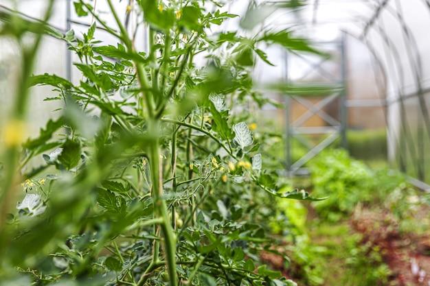 Conceito de jardinagem e agricultura. tomates orgânicos crescendo em estufa. produtos com efeito de estufa. produção de alimentos vegetais.