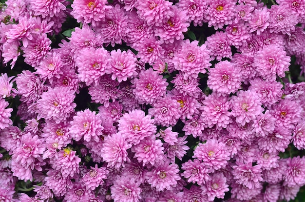 Conceito de jardinagem e floricultura. flores de crisântemo roxo magenta