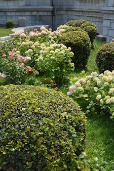 Conceito de jardinagem no parque, rosas, cuidado da planta do boxwood das hortênsias.