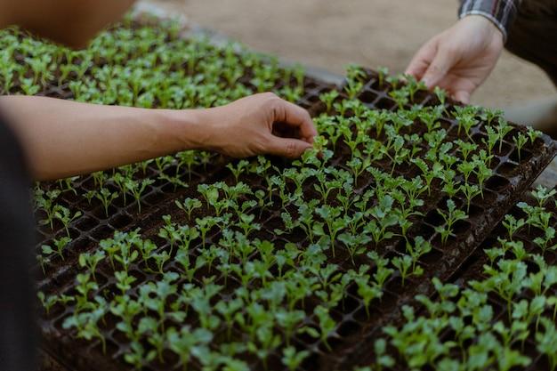 Conceito de jardinagem: um agricultor abatendo as mudas verdes antes de removê-las dos vasos para cultivá-las no canteiro de solo preparado.
