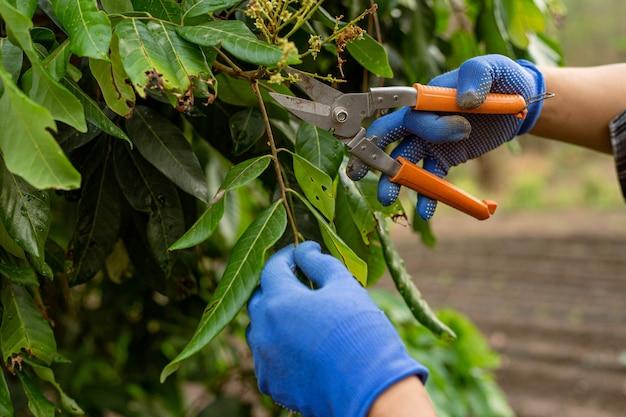 Conceito de jardinagem: um fazendeiro que coleta a prole recortando as partes exigidas das plantações. Foto Premium