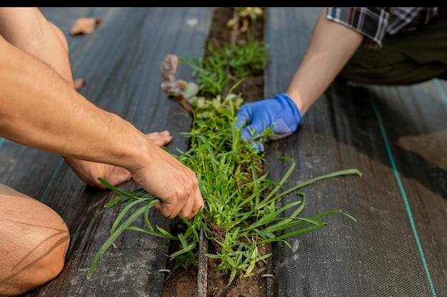 Conceito de jardinagem um jardineiro do sexo masculino limpando a área ao redor da horta removendo ervas daninhas.