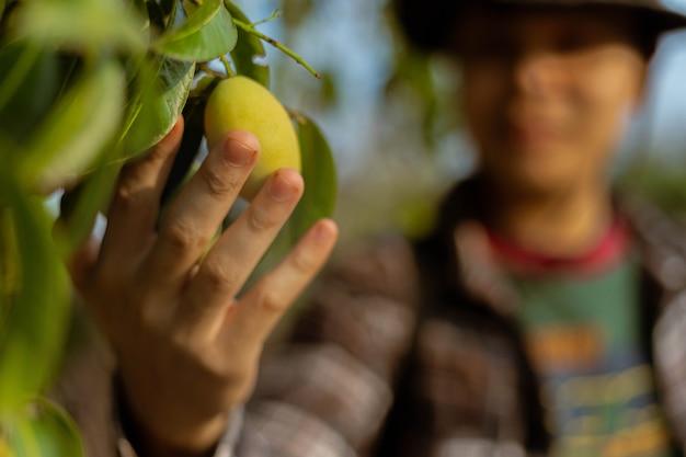 Conceito de jardinagem: um jardineiro olhando para uma fruta, verificando o tamanho, a cor e a qualidade antes da colheita.