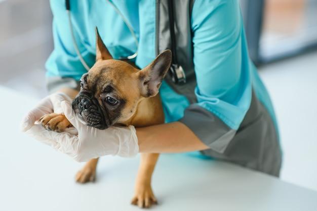 Conceito de medicina, cuidados com animais de estimação e pessoas - close-up do cão bulldog francês e da mão do médico veterinário na clínica veterinária