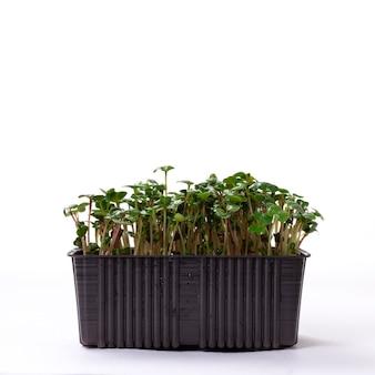 Conceito de microgreening. sementes de rabanete verde germinado, sobre fundo branco, copie o espaço.