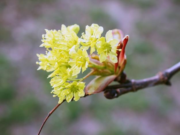 Conceito de natureza. cereja da cornalina galho lírico com flores amarelas em fundo cinza desfocado. visão macro da flor cornus mas. cornel ou dogwood europeu no início da primavera. copie o espaço. foco suave.