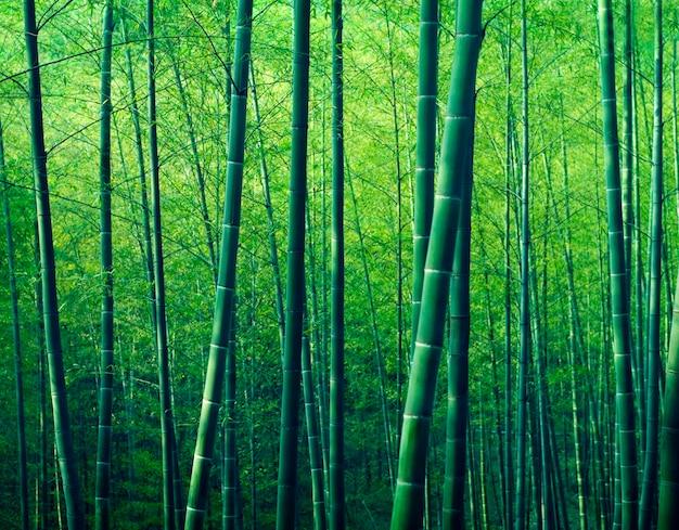 Conceito de natureza de árvores de floresta de bambu