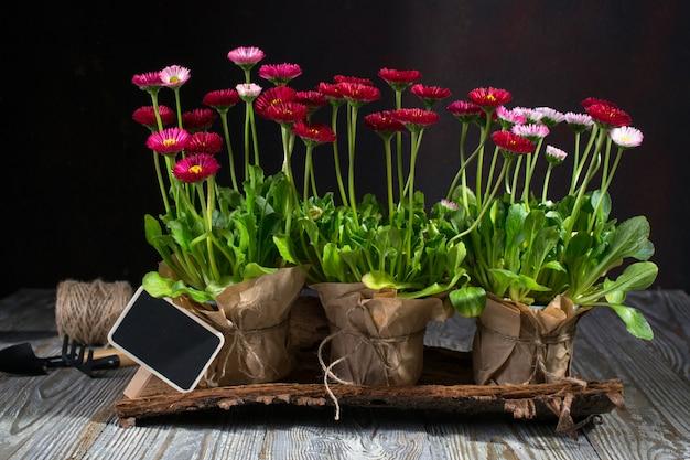 Conceito de obras de jardim primavera. ferramentas de jardinagem, flores em vasos e regador na mesa de madeira escura.