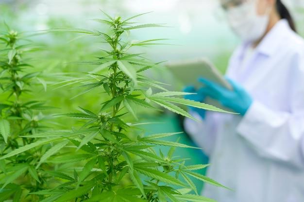 Conceito de plantação de cannabis para médicos, um cientista usando tablet para coletar dados na fazenda interna de cannabis sativa