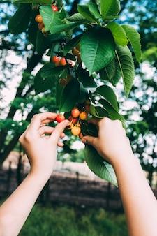 Conceito de pomar com as mãos coletando frutas da árvore