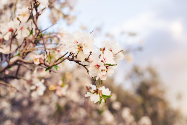 Conceito de primavera. flores de amêndoa.