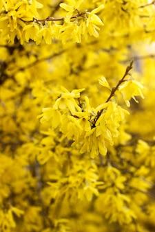 Conceito de primavera, ramos de forsítia florescendo contra o céu.