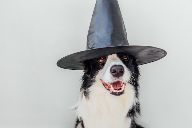 Conceito de truque ou deleite. filhote de cachorro engraçado border collie vestido com traje de bruxa de chapéu de halloween assustador e assustador, isolado no fundo branco. preparação para festa de halloween.