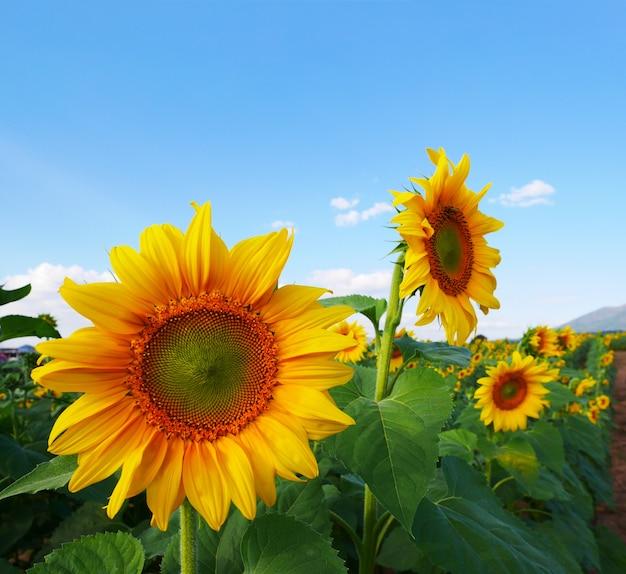 Conceito de verão, closeup brilhantes girassóis amarelos em um campo