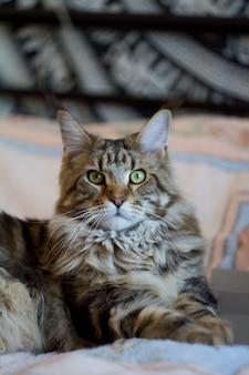 Conceito ficar em casa e ficar seguro, gato maine coon encontra-se na cama e trabalha no laptop, foco seletivo