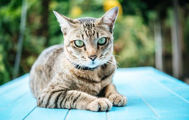 Concentre-se nos olhos do gato malhado no chão de cimento azul