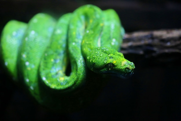 Concentre-se orvalho na cabeça de cobra verde