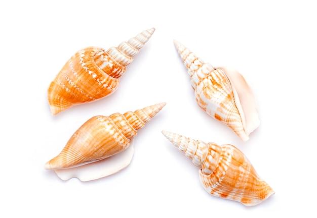 Concha, concha ou concha isolado no branco