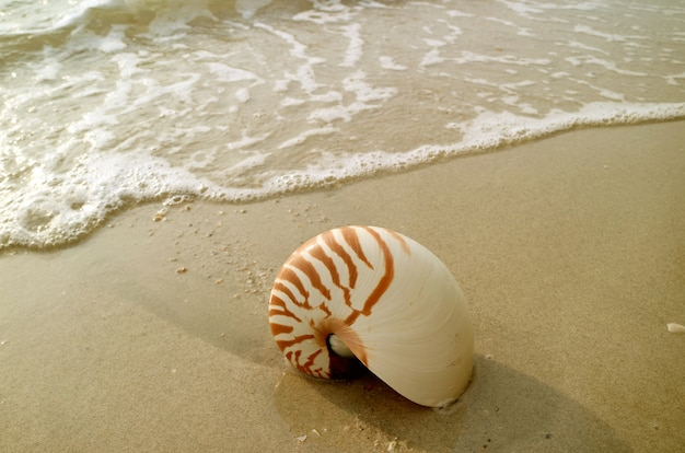 Concha de nautilus natural isolada na praia de areia molhada com mar swash