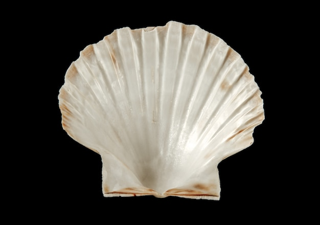 Concha de vieira branca isolada em fundo preto