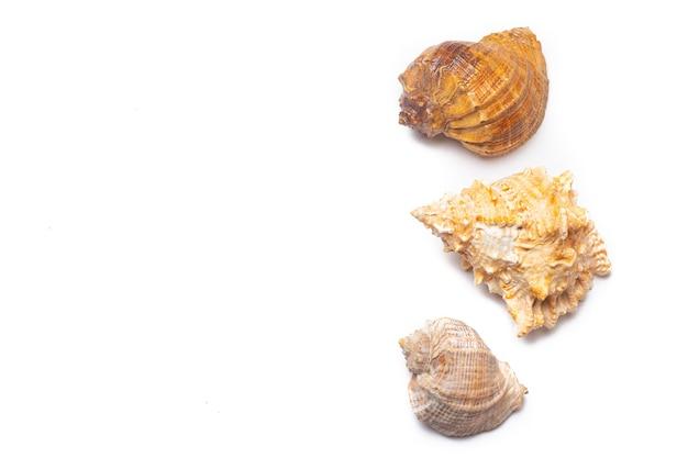 Concha do mar em um fundo branco. um artigo sobre conchas. férias no mar.