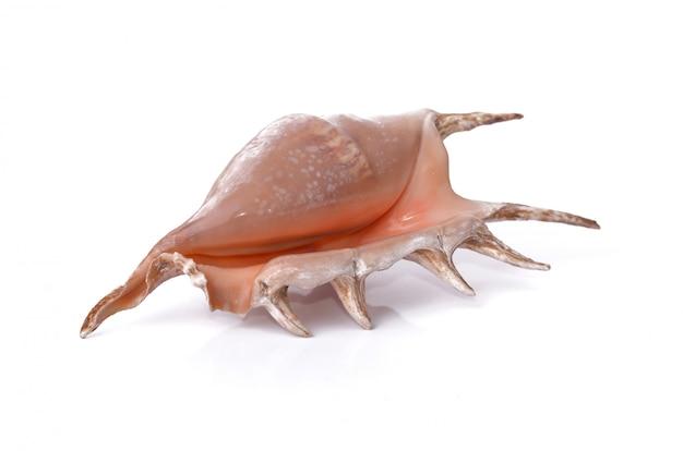 Concha do mar linda pérola isolada