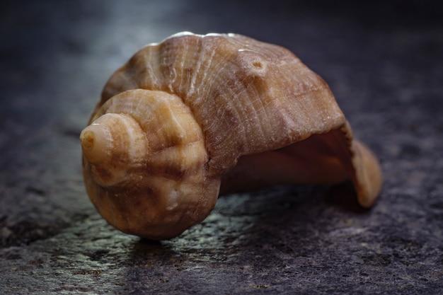Concha em espiral de um molusco do mar. proporção áurea