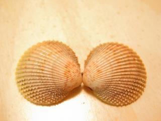 Conchas do mar, dois