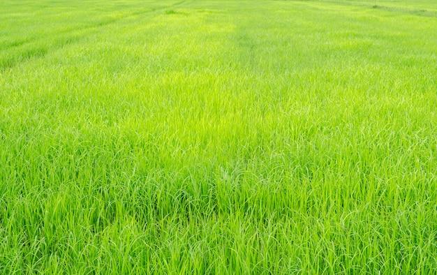 Condição fresca no campo verde arroz fundo desfocado