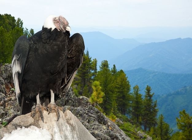 Condor andino na área selvagem