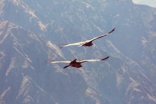 Condor voador no cânion colca, peru