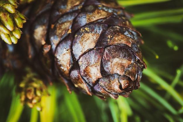 Cone com noz de pinheiro-manso (pinus pumila). closeup fundo floral natural, espírito de natal. efeito vintage foto colorida instantânea, imagem colorida com filtro tonificado.