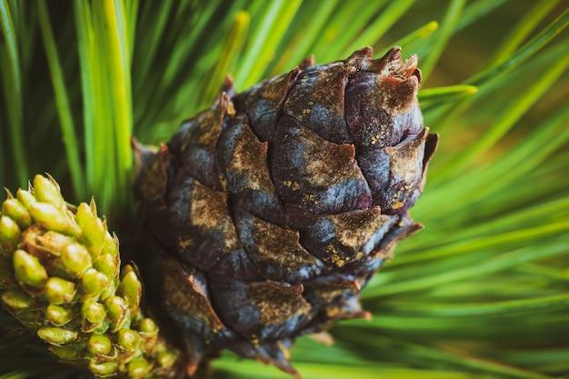 Cone com noz de pinho anão (pinus pumila). efeito vintage foto colorida instantânea, imagem colorida com filtro tonificado. fundo floral close-up, clima de natal.