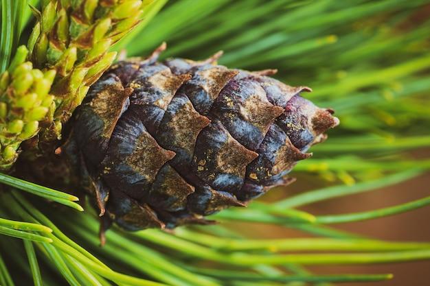Cone com noz de pinho anão (pinus pumila). fundo floral close-up, clima de natal. efeito vintage foto colorida instantânea, imagem colorida com filtro tonificado.