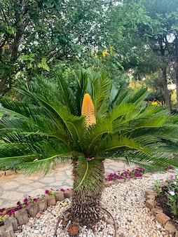 Cone de cycas rumphii de planta perene.