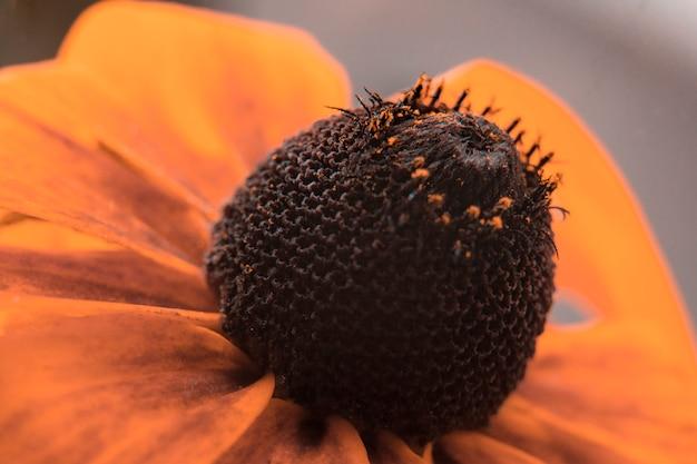 Coneflower alaranjado goldsturm (fulgida do rudbeckia), flores do verão. fechar-se.