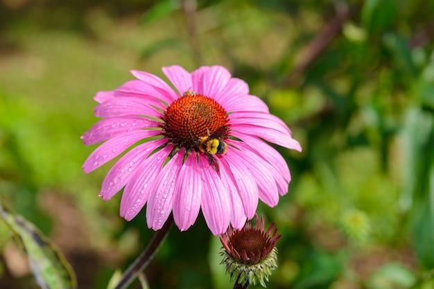 Coneflower roxo (echinacea purpurea) uma planta popular para atrair a abelha